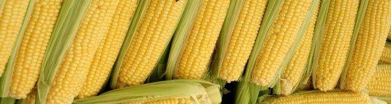 komodita kukurice
