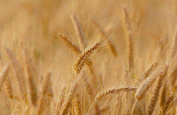 pšenice komodita